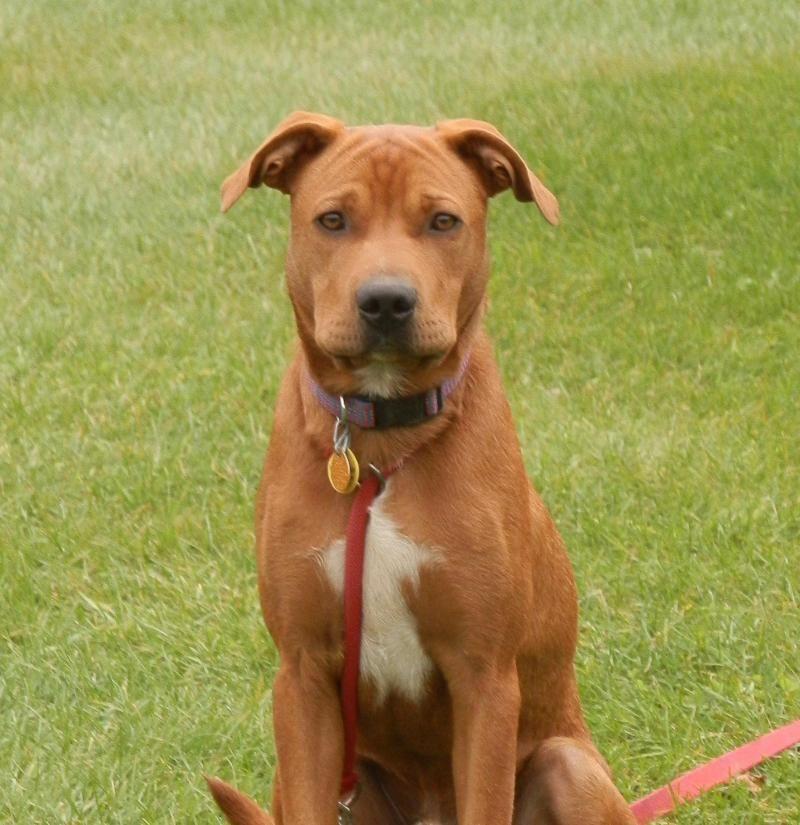 Adopt Charlie on Dogs, Rescue dogs, Labrador retriever mix