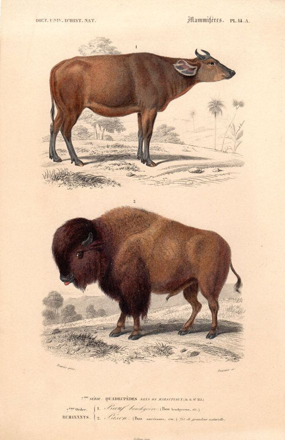1849 Antique Animal Print Bison Bull Natural by AntiquarianPrints, $20.00