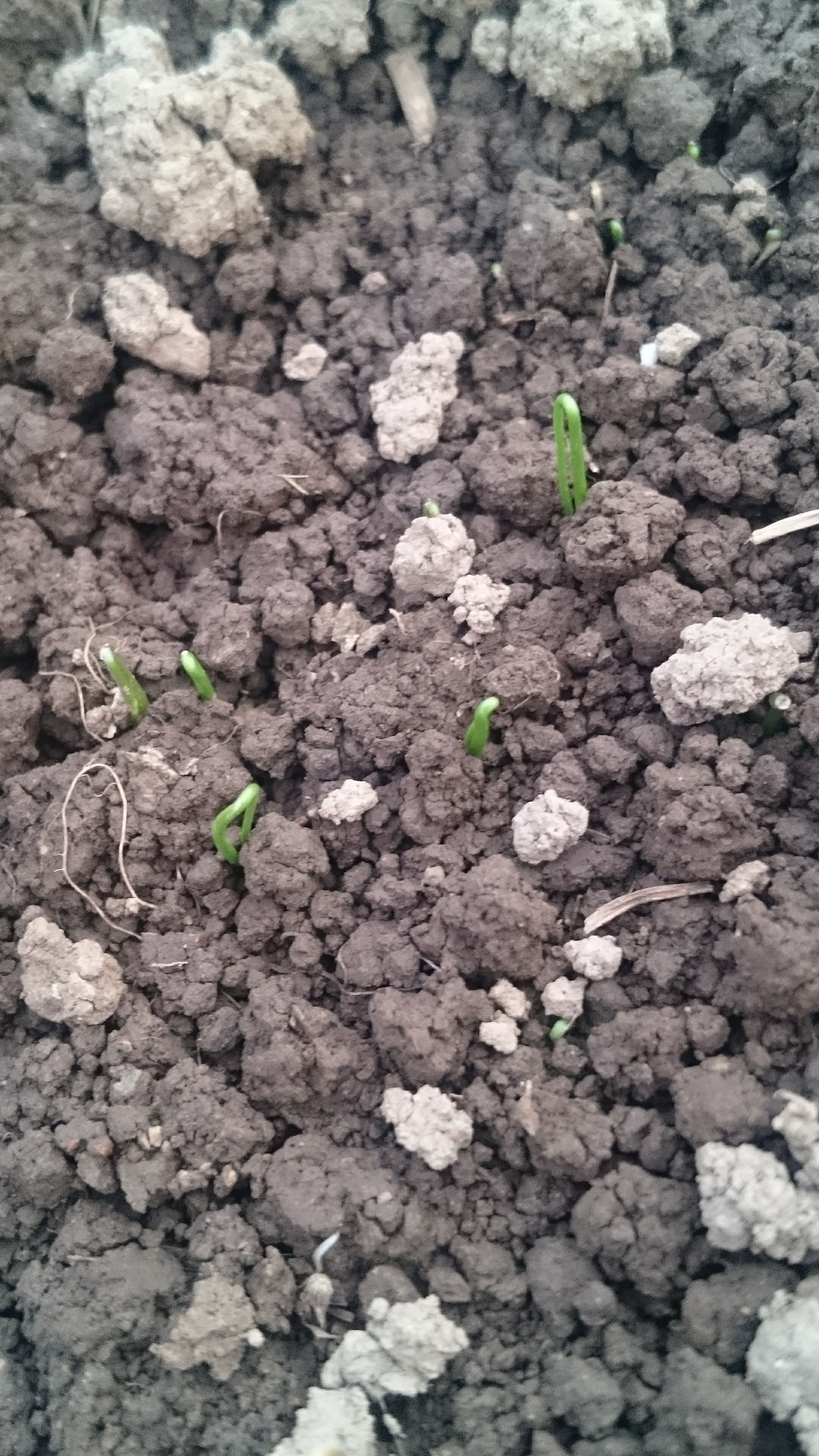 Green onions germinated instead planted in july