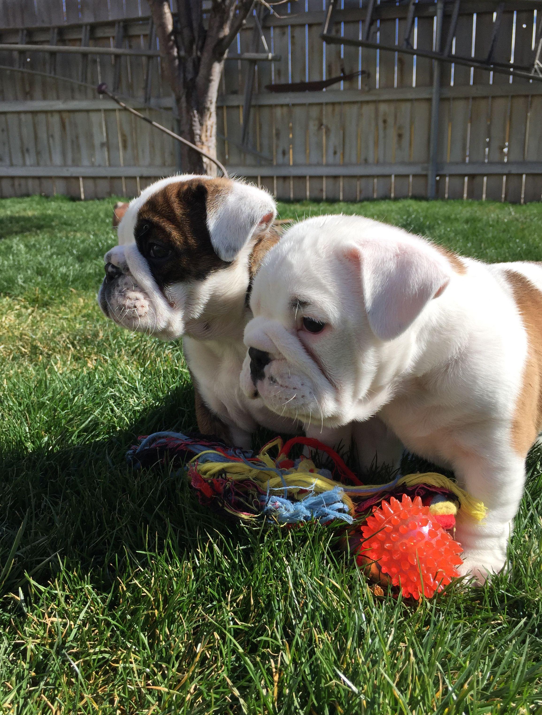 Pin by jillian grayson on Bulldogs ♥ Puppies, Cute