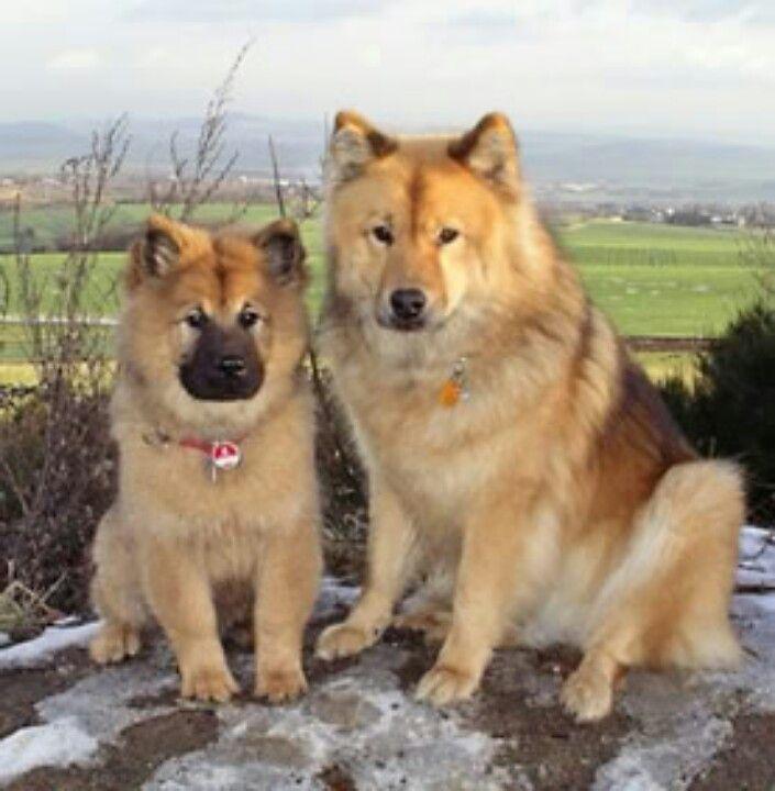 Eurasier Most Amazing Dog In The World Eurasian Dog Dogs Best Dogs