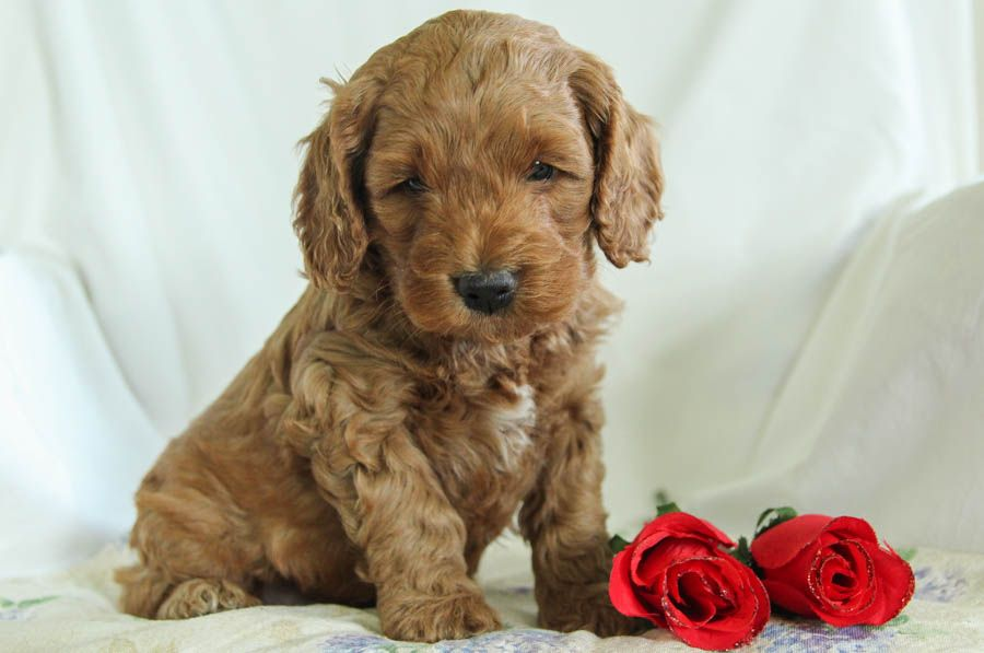 Puppies For Sale Dog Station Cockapoo Puppies Dog Breeder