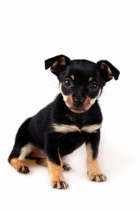 Different Dog Breeds Dog Breeds Miniature Pinscher Puppy Best