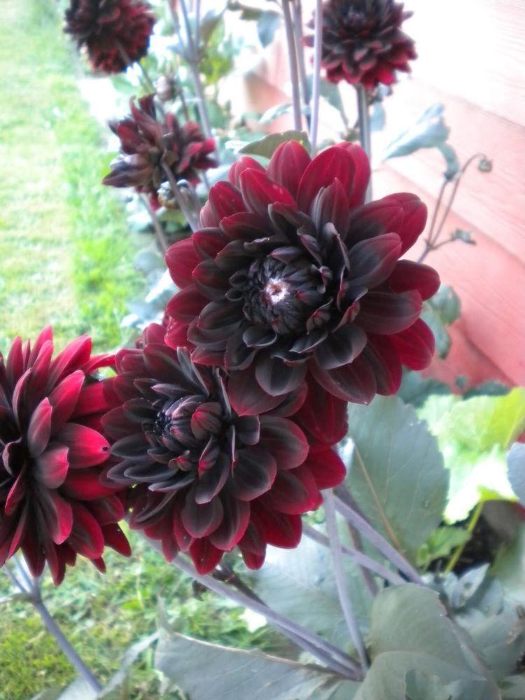 30 Black Beauty Dahlia Pinnata Flower Seeds Dark Mahogany Red Flower Seeds Flowers Black Flowers Tattoo