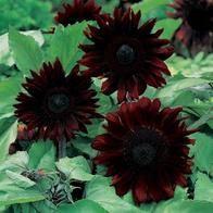 Sunflower 'Black Magic'