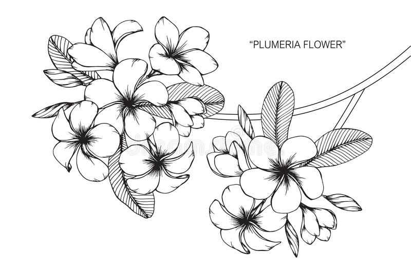 Photo About Plumeria Flower Drawing And Sketch With Line Art On White Backgrounds Illustration Of Bouquet Fl Flower Drawing Plumeria Tattoo Frangipani Tattoo