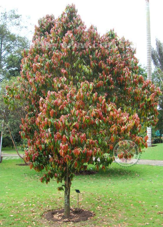Eugenia myrtifolia jard sostenible pinterest for Pianta eugenia