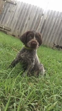 Litter Of 8 German Wirehaired Pointer Puppies For Sale In