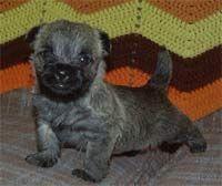Ohio Pup Cairn Terrier Cairn Terrier Puppies Cairn Terrier
