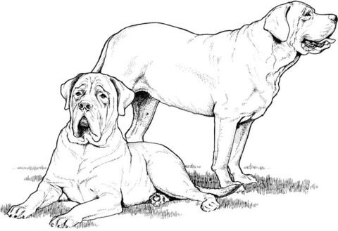 Labrador And Mastiff Coloring Page From Dogs Category Select From