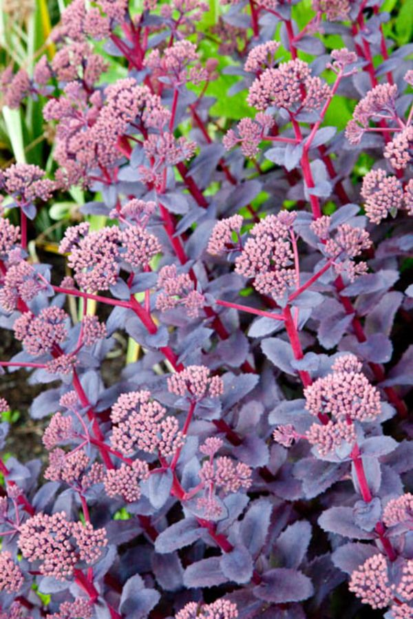 Long lived and drought tolerant, award-winner Sedum 'Purple Emperor' is a lovely sight in the landscape with its masses of rosy-pink flowers, densely packed in large umbrella-shaped flowerheads, and showing off atop bright reddish-purple stems clad with dark purple, fleshy leaves #largeumbrella