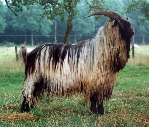 goat Asian breed
