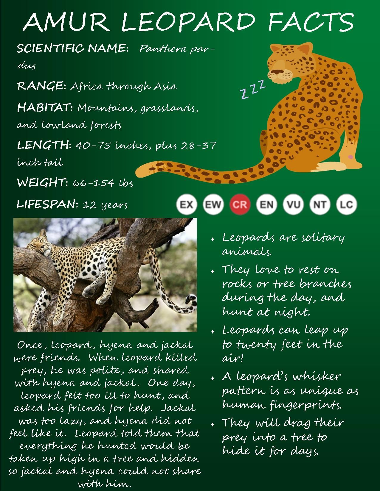Today We Re A Sharing Facts On The Beautiful Amur Leopard