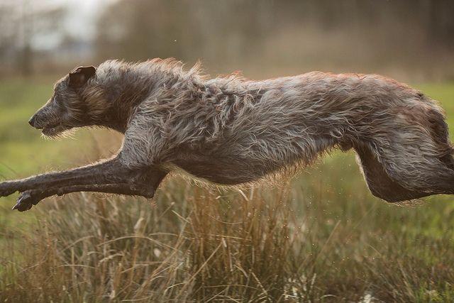 Backlit Finn     #scottish #deerhound