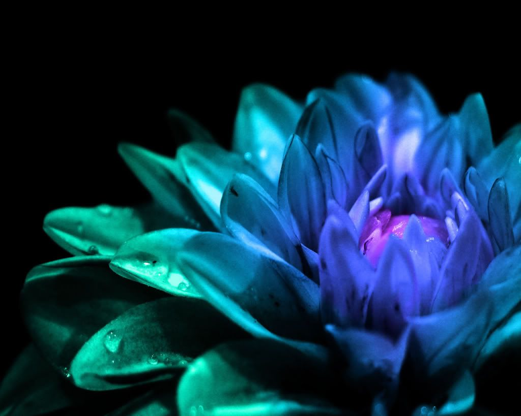 Sapphire Blue Green Dahlia Purple Flower Pictures Flower Images Wallpapers Purple Flowers Wallpaper