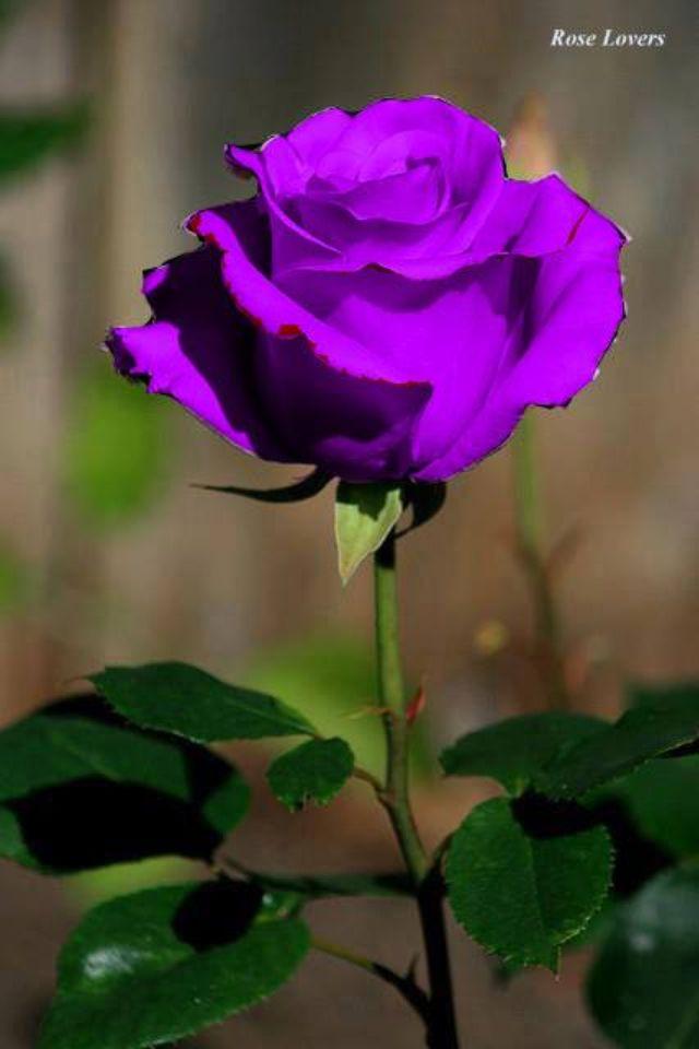 Single Purple Rose Purple Roses Beautiful Roses Flowers