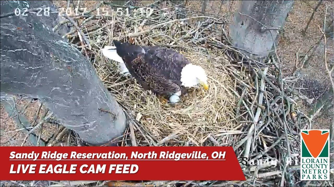 Sandy Ridge Eagle Cam   Eagle cam, Pet cam, Eagle