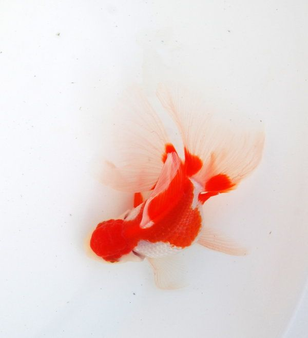 oranda with a butterfly tail
