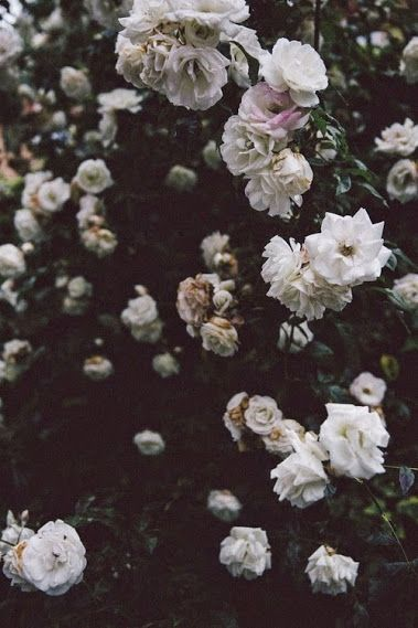 Flower Rose Wallpaper Cosas Chidas Flores Chidas Y Plantas