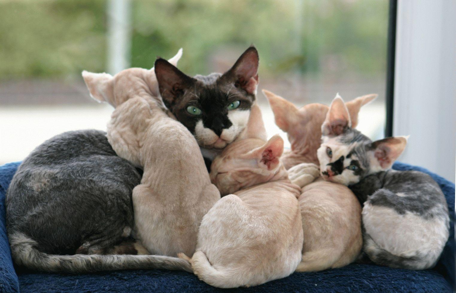 Кошка Девон-рекс (фото): Игривый питомец и верный друг ...