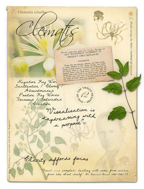 Clematis Bach Flower Poster Flower Essences Flower Remedy Bach Flower Remedies