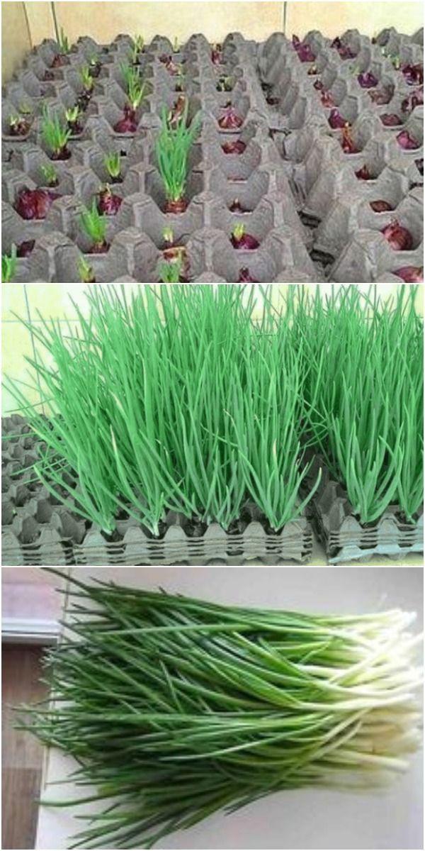 Eine Interessante Art Zwiebeln Zu Zuchten Die Erde Ist Garten Bepflanzen Container Garten Pflanzideen