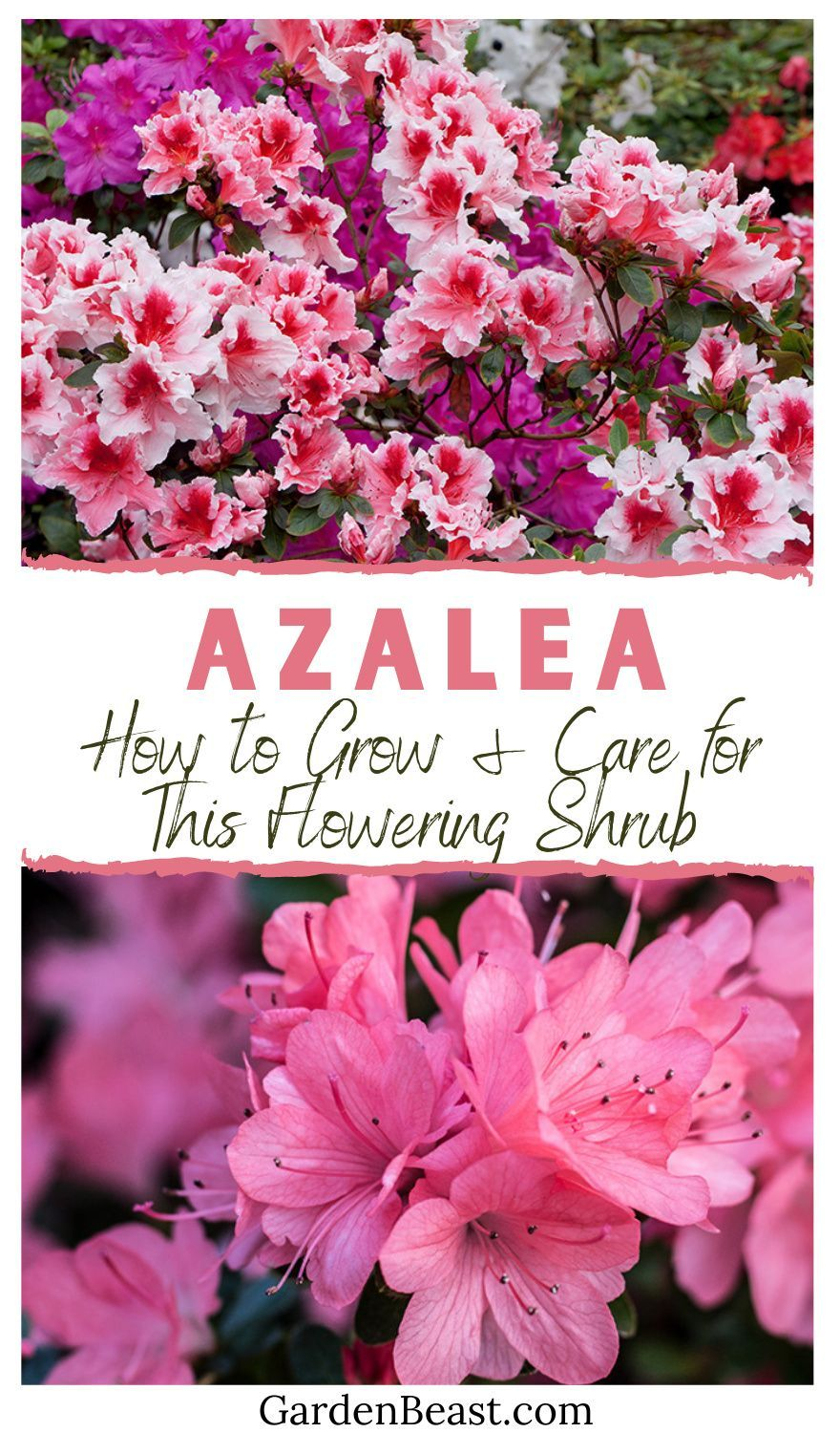 Azalea Guide How To Grow Care For This Flowering Shrub In 2020 Azalea Flower Flowering Shrubs Azaleas Landscaping