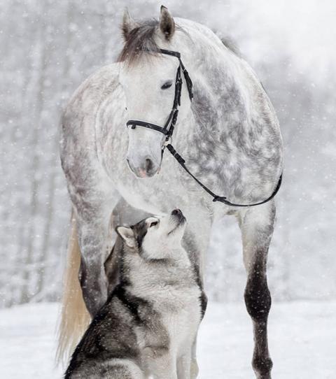 L'amitié entre un cheval et un Malamute immortalisée par des photos somptueuses – Maika
