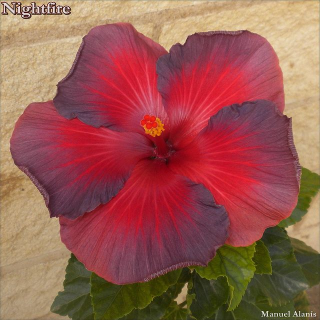 Pin By Rebecca English Young On Virtual Vacation Tropics Hibiscus Plant Hibiscus Flowers Beautiful Flowers