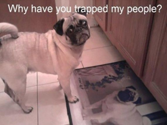 Funny Pug Pictures With Captions Facebook Twitter Google