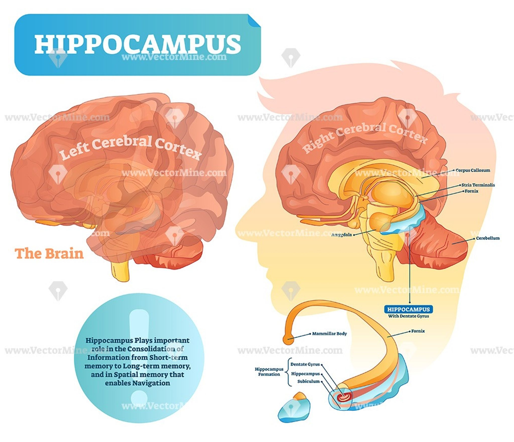 Hippocampus Medical Brain Vector Illustration Diagram In