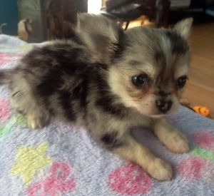Tea Cup Male Chihuahua A Poils Long City Of Montreal Greater