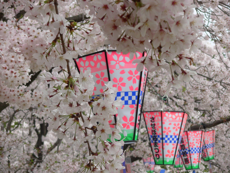 The Sakura Cherry Blossoms In Sasebo Japan Sasebo Sakura Cherry Blossom Japan
