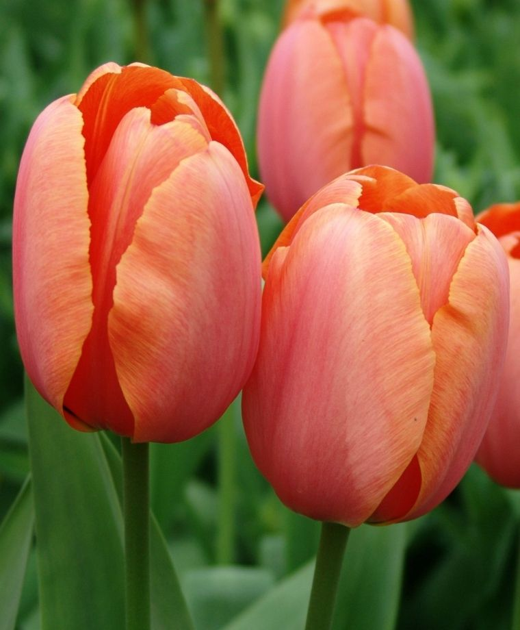 Tulip Apricot Impression This Deep Lustrous Beauty Is Varying