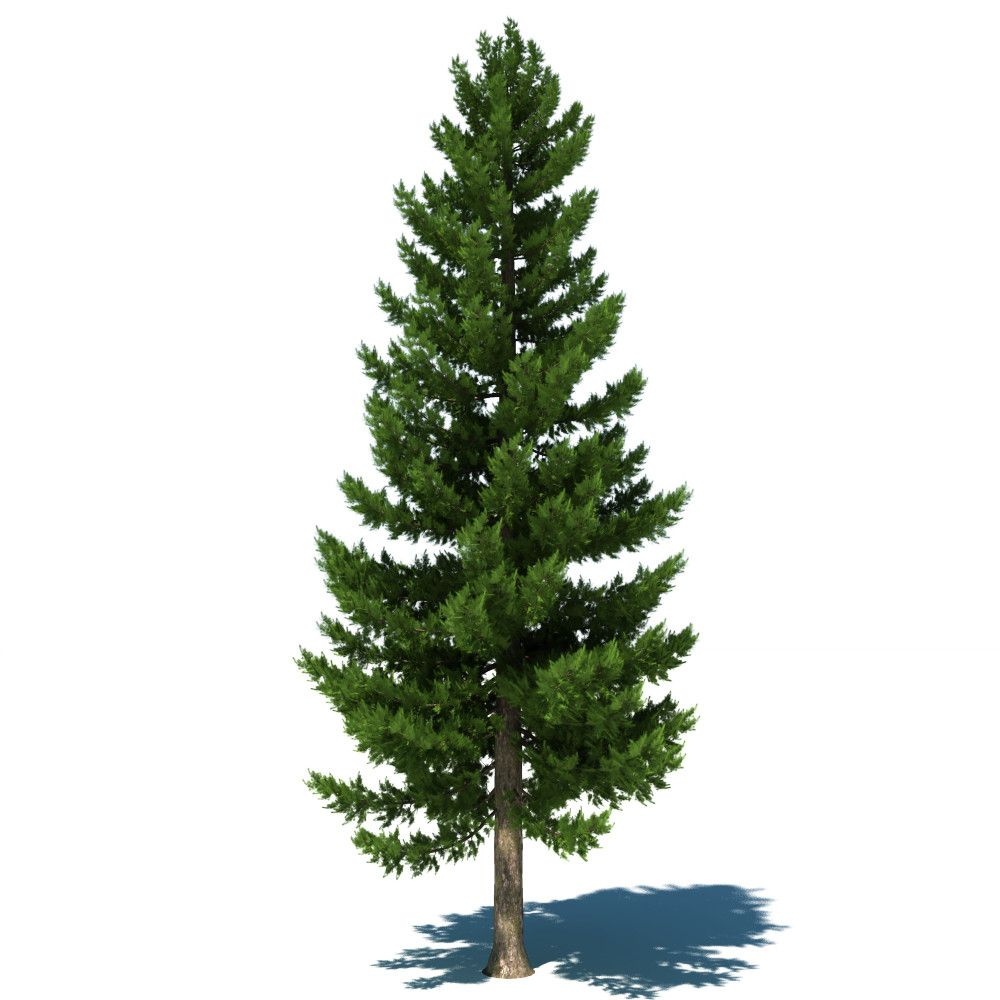 Http Milliontreeshaiti Org Single Pine Tree Garden Illustration Tree Textures Pine Tree Drawing