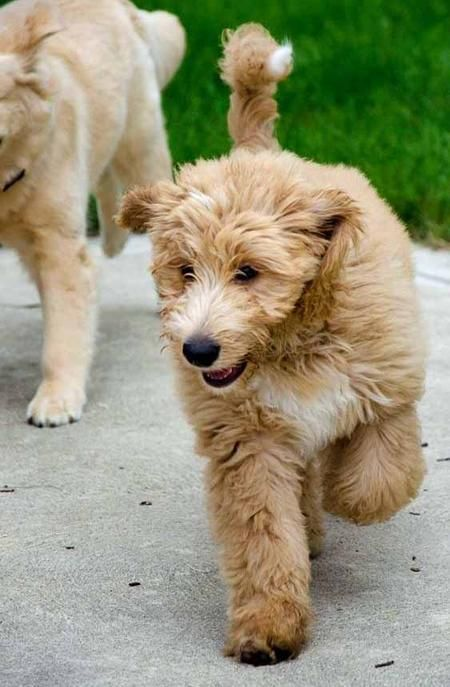 Australian Shepherd Golden Retriever Poodle Mix Google Search