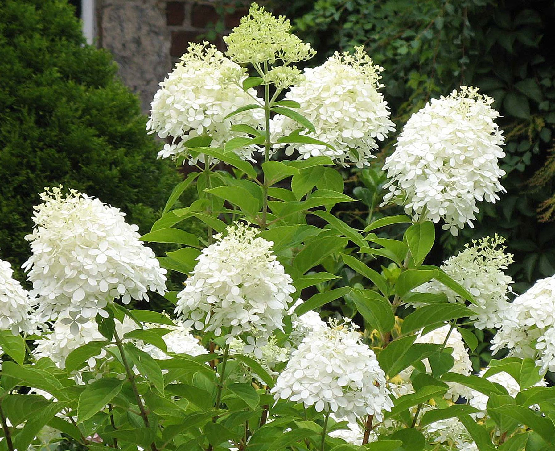 Pee Gee Hydrangea 125mvery Large Cone Shaped White Flower Heads