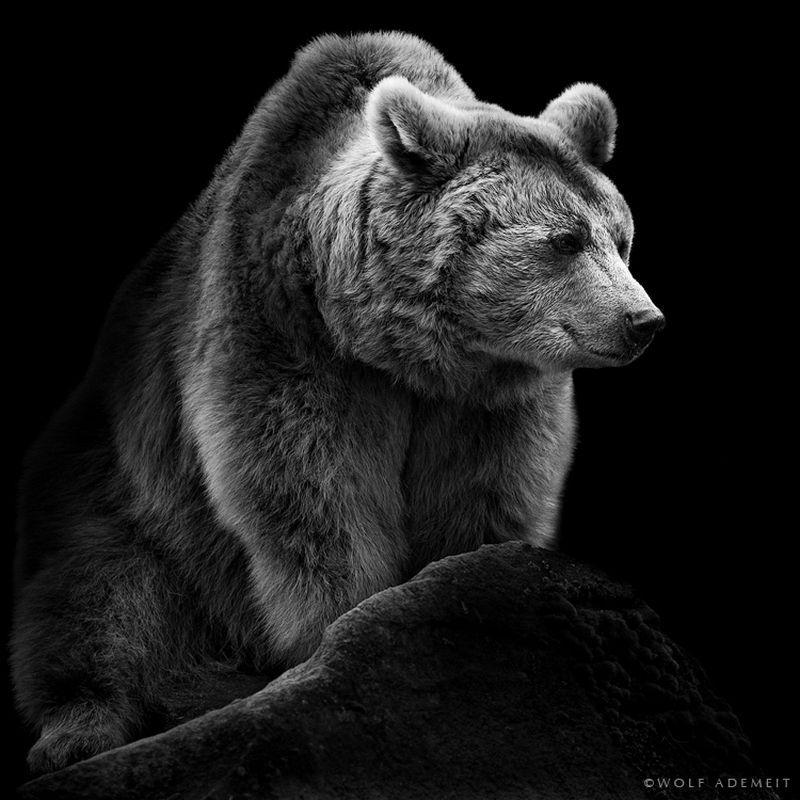 Black And White Bear : Photo noir et blanc de la série des animaux wolf ademeit