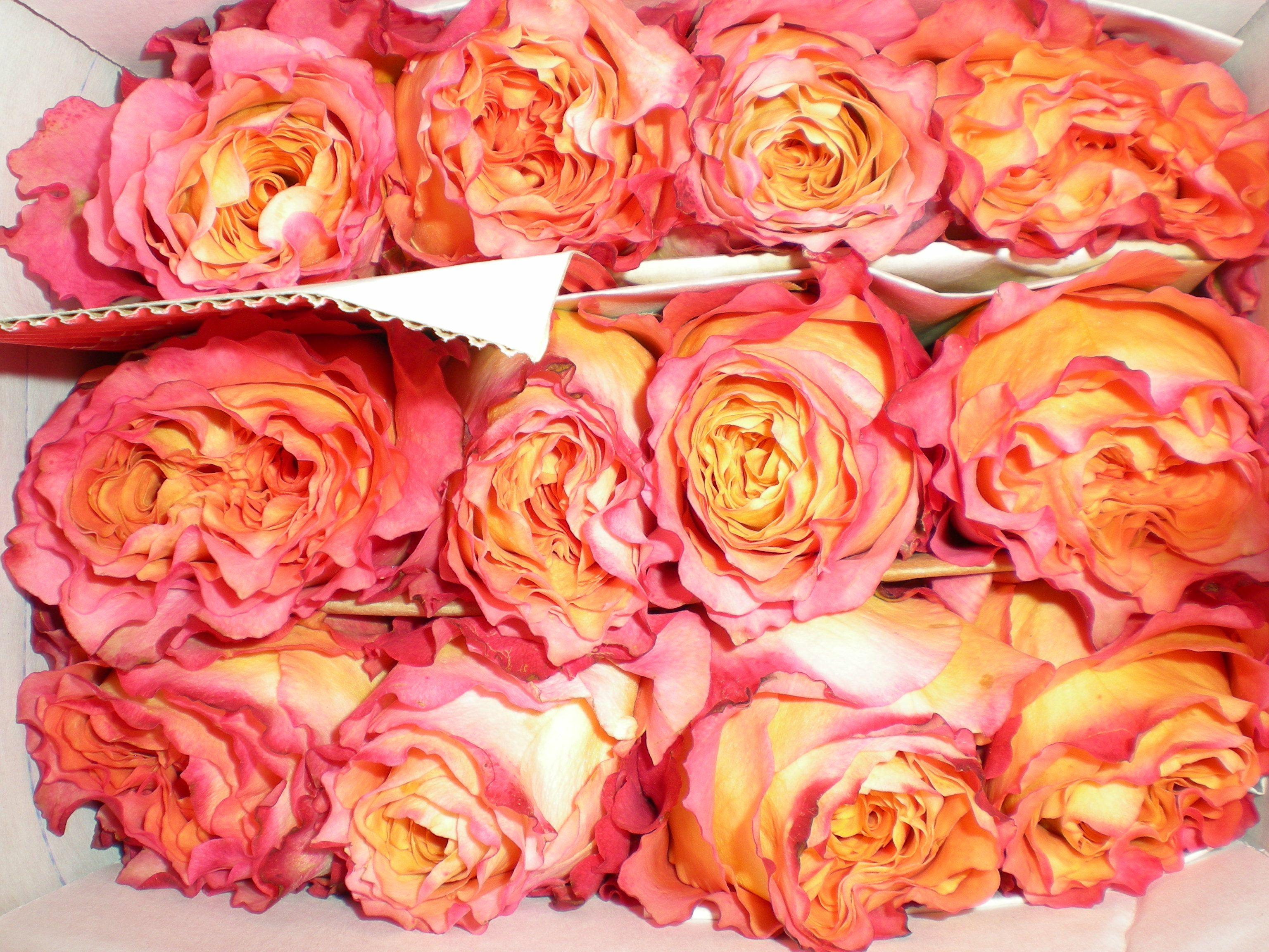 Free Spirit Rose Free spirit rose