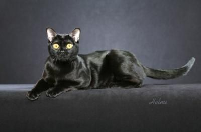 This Is A Pure Breed Bombay Sure Looks Like Our Kratos For The Best Family Cat There Is No Other Than The Bombay Cat Breeds Wild Cats Pets