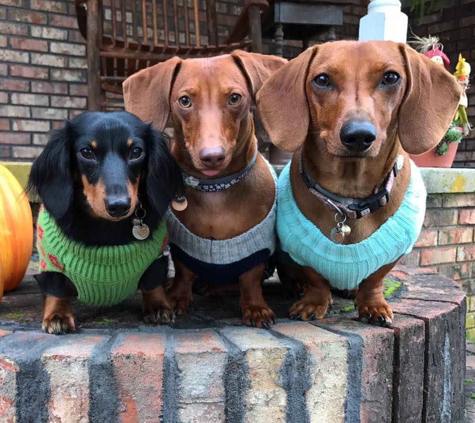 Pin By Sherry Garrett On Dachshund Dachshund Dog Sweaters