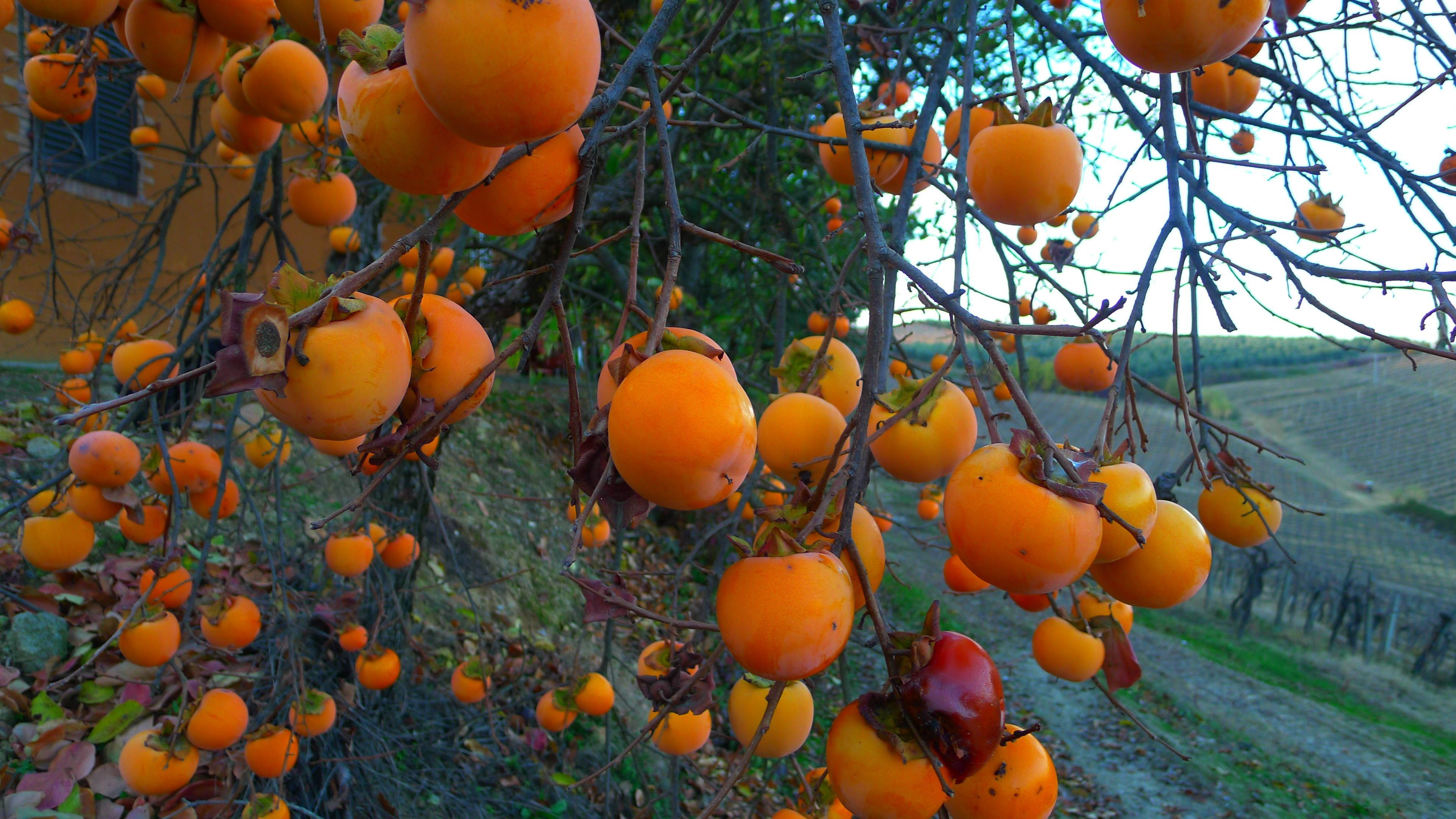 Persimmons etc. | foxywiththetruth