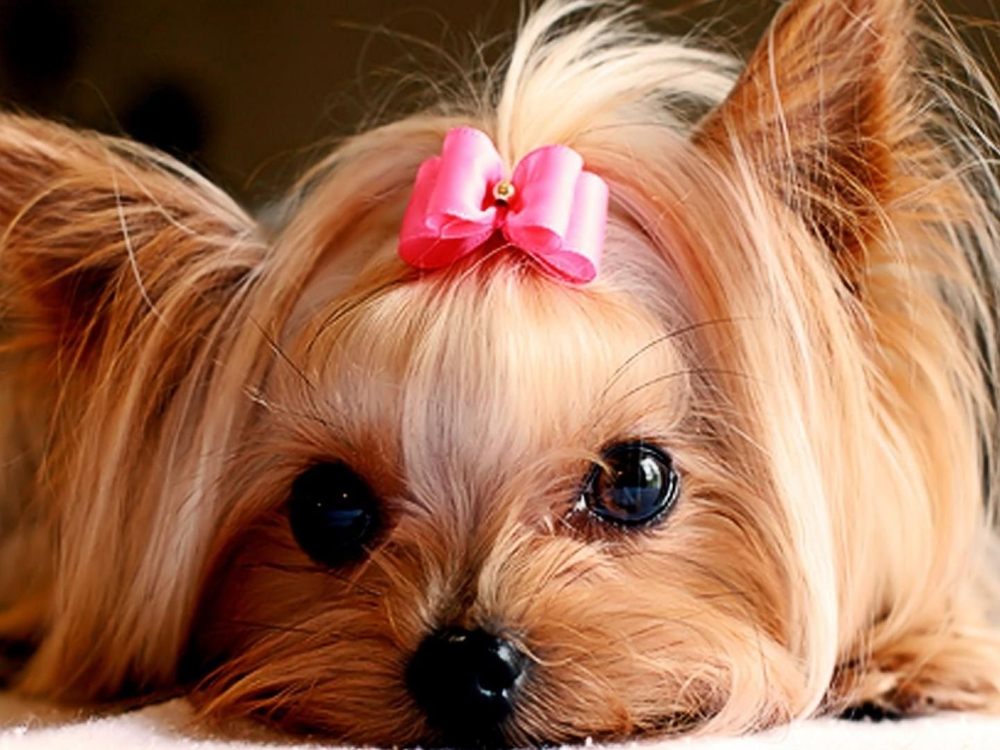 Great Ribbon Bow Adorable Dog - eb33d61d0f8f56fe5864fc947d9bf2b7  Best Photo Reference_177862  .jpg