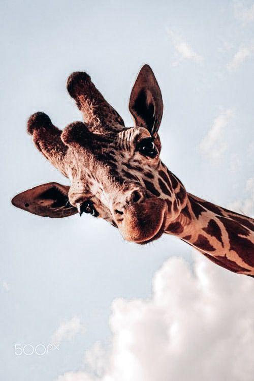 pin by on animals giraffe animals