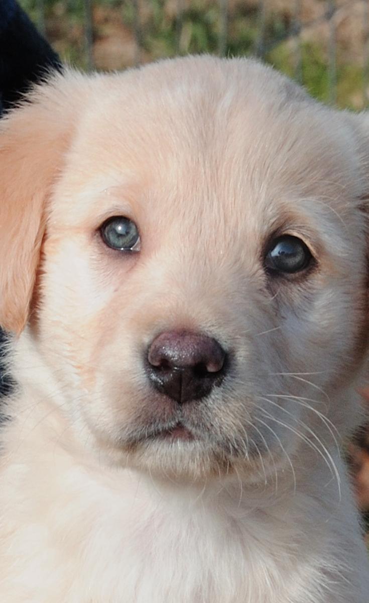 Cute little Golden Retriever puppy (met afbeeldingen) Baby's