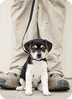 Portsmouth Ri Beagle Rat Terrier Mix Meet Hazel A Puppy For