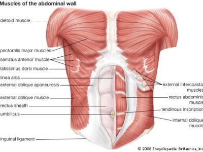 Abdominal Anatomy Your Abs Explained Clever Pinterest Muscle
