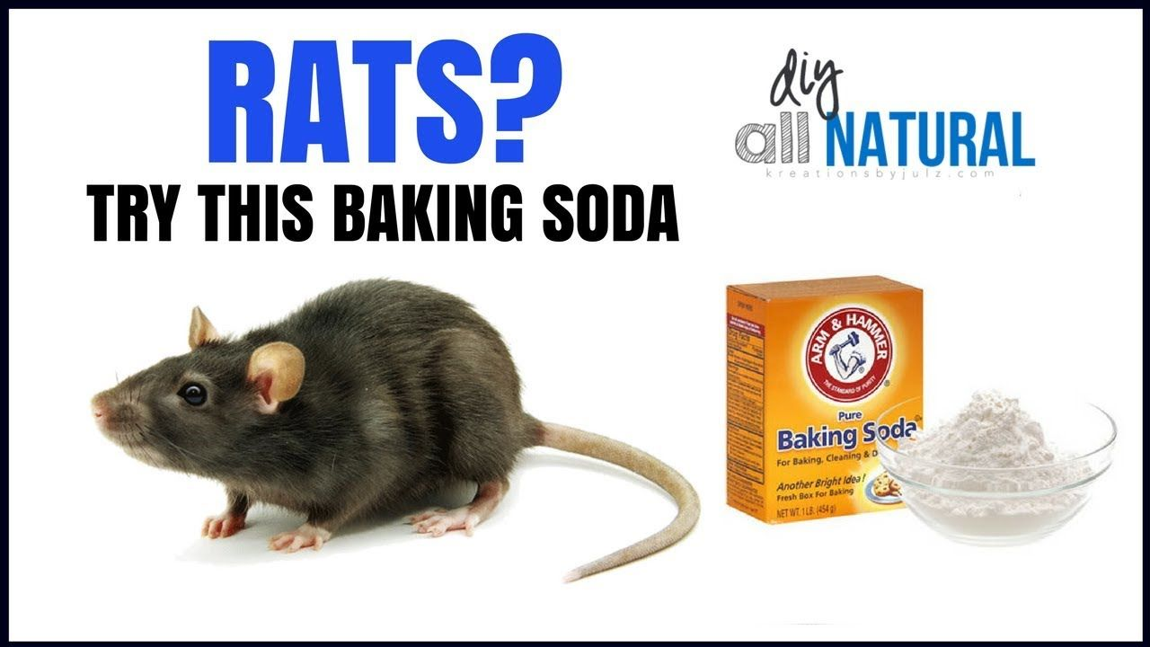 Killing rats with baking soda is the fast acting home remedy | PESKY