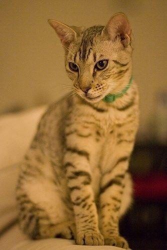 Cheetoh Cat Cute Cats Dogs Cat Breeds Domestic Cat Breeds