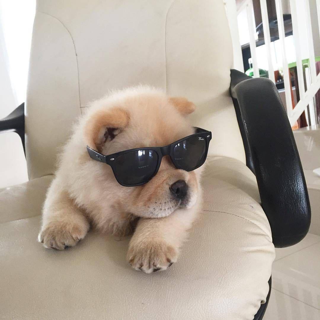 Resultado de imagen para chow chow sunglasses